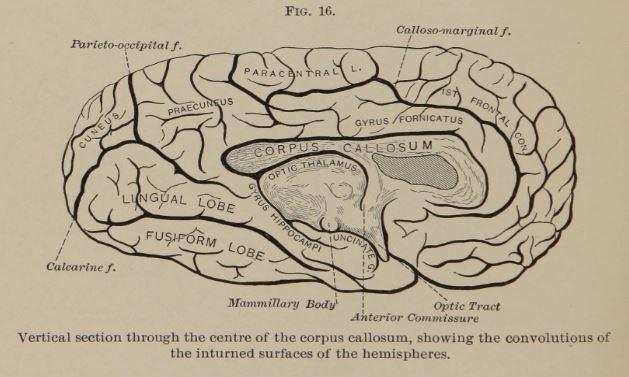 old brain diagram with fusiform lobe, optic thalamus, and lingual lobe