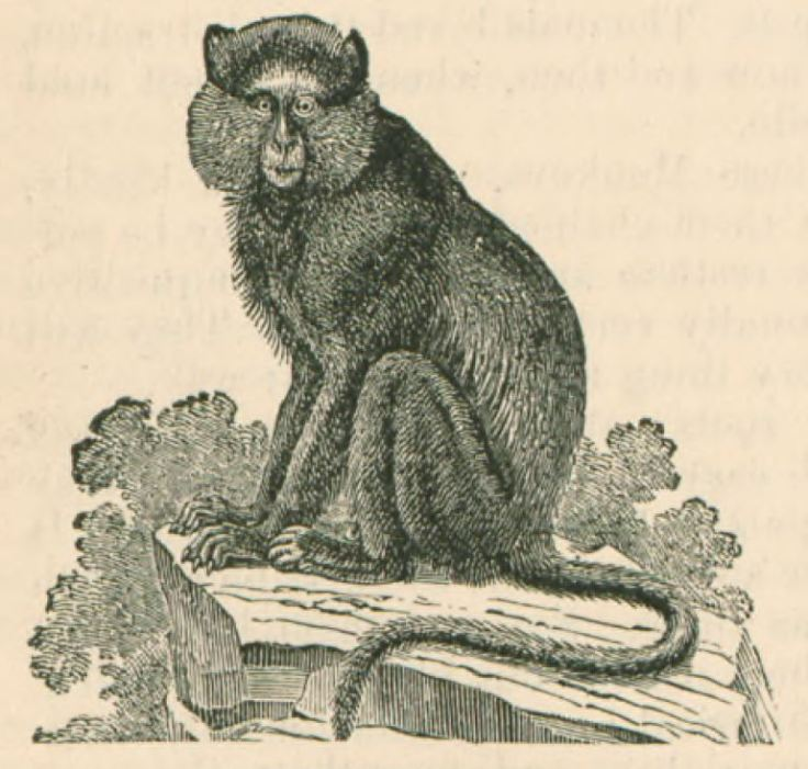 Nineteenth century picture of a blue monkey (cercopithecus mitis) studied by Jeffrey Hatcher at Columbia University