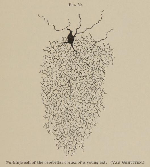 Purkinje cell