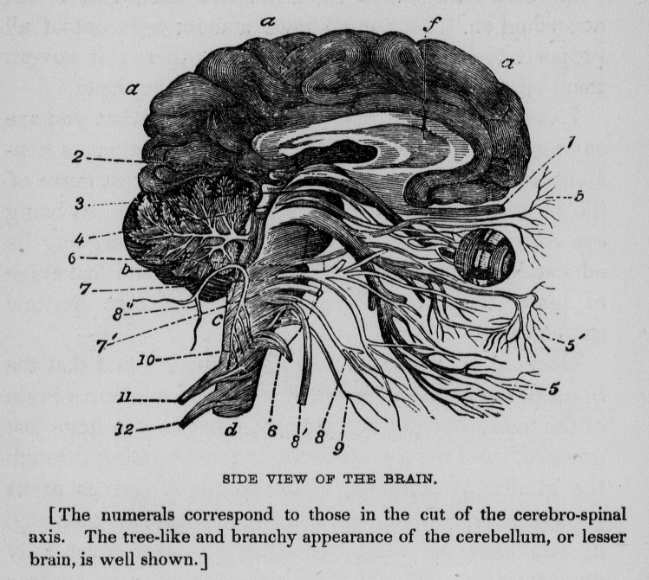 Philosophy of charming by John B Newman 1847 sagittal plane of brain
